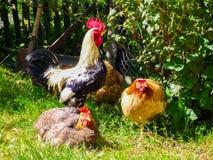 Un gallo y tres gallinas están caminando en la yarda en un día de verano soleado foto de archivo