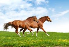 Un galoppo dei due foals Fotografia Stock
