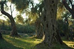 Un gambo gnarly di di olivo, stante in un boschetto, si è acceso dal sole prima dell'alba Immagine Stock
