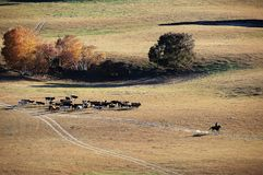 Un ganadero y caballos en pradera del otoño imágenes de archivo libres de regalías
