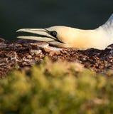 Un gannet Imagenes de archivo