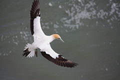 Un gannet de glissement photos stock