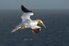 Un gannet en el cielo Fotografía de archivo