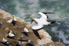 Un gannet en vuelo sobre una colonia en NZ fotografía de archivo