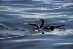 Un gannet joven Foto de archivo libre de regalías