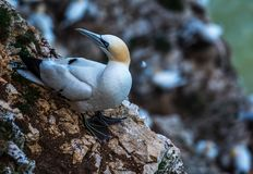 Un gannet que se sienta a lo largo de la costa costa de los acantilados del bempton, Yorkshire, Reino Unido Imágenes de archivo libres de regalías