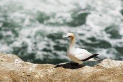 Un Gannet se encarama en Cliff Top Fotografía de archivo