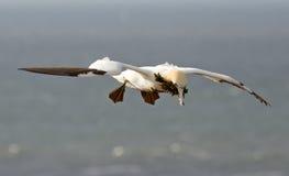 Un gannet sobre el mar Foto de archivo