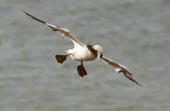 Un gannet sobre el mar Fotos de archivo libres de regalías