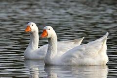 Un ganso blanco activo y un ganso salvaje hacen dos gansos lazo de los pares que cuentan con sus ansarones Imagenes de archivo