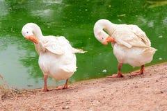Un ganso blanco activo y un ganso salvaje hacen dos gansos lazo de los pares que cuentan con sus ansarones Foto de archivo