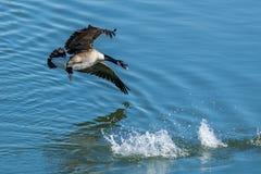 Un ganso canadiense swooping abajo en el agua Fotografía de archivo