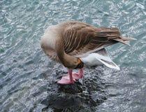 Un ganso de ganso silvestre en una piedra en un puerto Imagenes de archivo