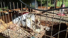 Un ganso, un pato y pollos del bebé almacen de video