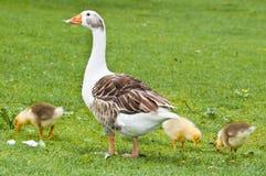 Un ganso y tres polluelos Imágenes de archivo libres de regalías