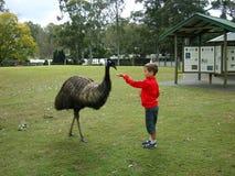 Un garçon alimente l'émeu en parc naturel dans l'Australie Image stock