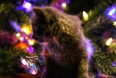 Un gatito azul ruso de pelo largo único imagen de archivo
