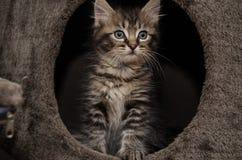 Un gatito curioso con una cara divertida Fotos de archivo libres de regalías