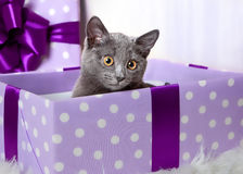 Un gatito gris se sienta en una caja de regalo de la lila Fotos de archivo