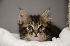 Un gatito mullido Fotografía de archivo libre de regalías