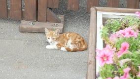 Un gatito rojo sin hogar en la calle miente en el asfalto cerca de la cama de flor con las flores rosadas 4K metrajes