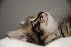 Un gatito tigrécolored mullido Fotografía de archivo libre de regalías
