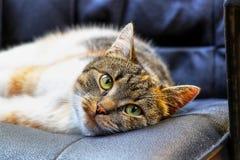 Un gato adorable que se relaja en la silla en sala de estar después de día largo Un gato aburrido que miente todo el día toda la  fotografía de archivo