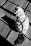Un gato adulto del ragdoll del punto azul con una sombra fotos de archivo libres de regalías