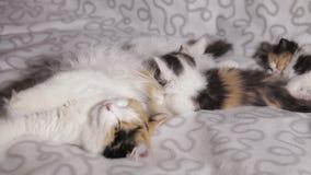 Un gato alimenta la leche de dos gatitos diferentemente coloreados Foco selectivo almacen de metraje de vídeo