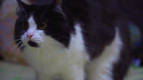 Un gato asustado que se alza encima de la cámara lenta almacen de video