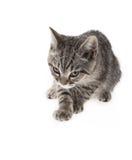 Un gato atigrado que mira en el fondo blanco Foto de archivo