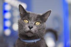 Un gato azul ruso con los ojos agudos fotos de archivo libres de regalías