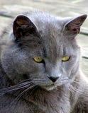 Un gato azul ruso del envejecimiento Fotos de archivo libres de regalías