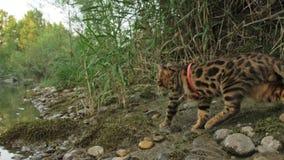 Un gato Bengala camina en la hierba verde El gatito de Bengala aprende caminar a lo largo de los intentos asiáticos del gato de l metrajes