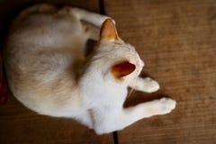 Un gato blanco se está sentando en un piso de madera viejo foto de archivo