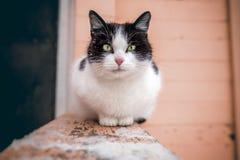 Un gato blanco y negro grande con los ojos verdes Imagenes de archivo