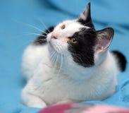 Un gato blanco y negro hermoso Imagen de archivo libre de regalías