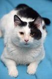 Un gato blanco y negro hermoso Imágenes de archivo libres de regalías