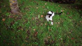 Un gato blanco y negro lindo está jugando con una rana marrón en la hierba debajo del árbol almacen de video