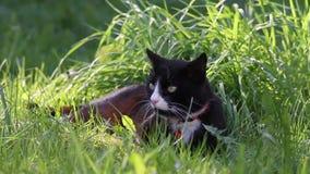 Un gato blanco y negro perezoso que goza de la sombra en un jardín de la primavera almacen de metraje de vídeo