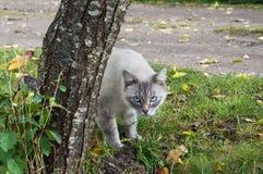 Un gato canoso con los ojos azules mira difícilmente de detrás el birc Fotografía de archivo