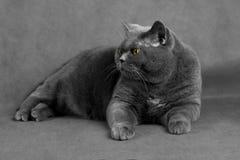 Un gato canoso con los ojos del amarillo miente en un fondo gris y Imagen de archivo