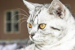 Un gato con los ojos del amarillo que buscan la presa Fotos de archivo