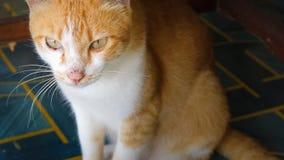 Un gato con oro y la piel blanca foto de archivo