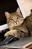 Un gato con un ratón Fotos de archivo libres de regalías