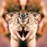 Un gato con una boca abierta de par en par foto de archivo libre de regalías