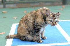 Un gato cuidadoso de la concha que mira un objeto del interés fotos de archivo libres de regalías
