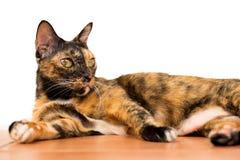 Un gato de gato atigrado adulto de la relajación que coloca en la planta el gato es fotos de archivo