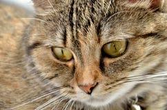 Un gato de gato atigrado, macro Fotos de archivo libres de regalías