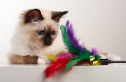 Un gato de Birman del punto del sello, gatito de 4 meses, varón Imagenes de archivo